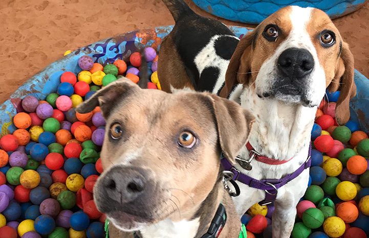 Stax and Fenway the dogs playing in a ball pit