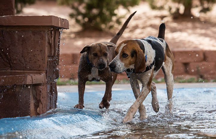Stax and Fenway the dogs walking side-by-side in some water