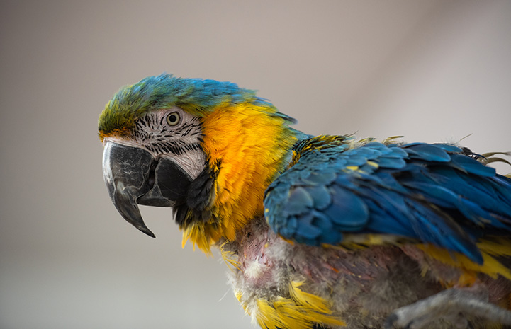 Profile of Riley the macaw