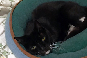 Black and white cat Noodles lying in a green bed