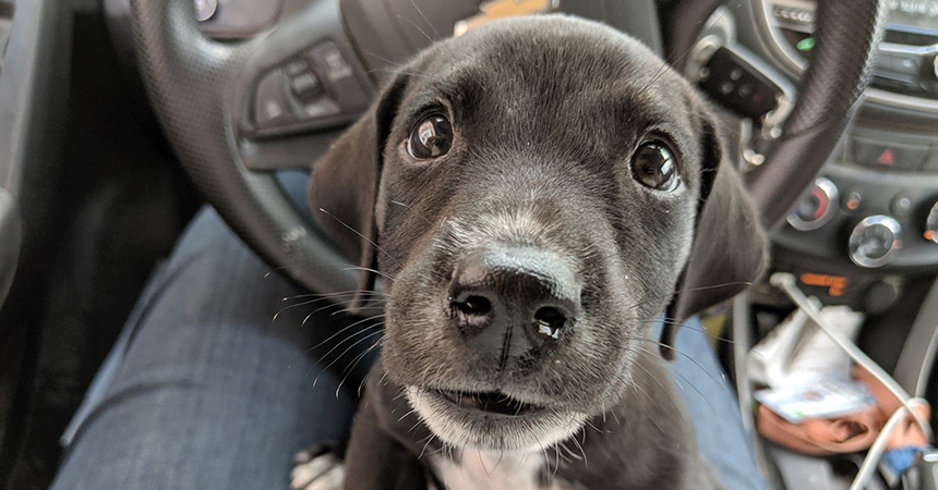 Sirius Black the puppy from the Humane Society of Harlingen