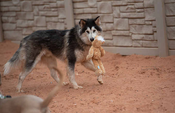 Togo the husky with a plush toy in his mouth