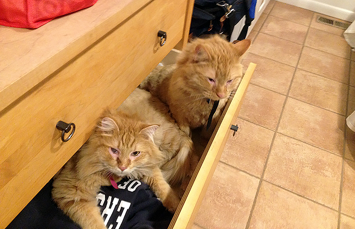 Bogie and Oleander the cats in a drawer together during a sleepover