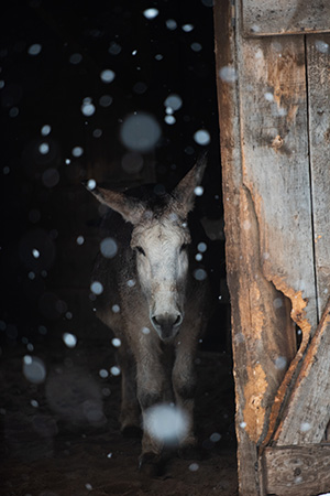 Speedy the donkey in a barn with the door open while it snows outside