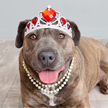 Pit Bull Terrier type dog wearing a tiara