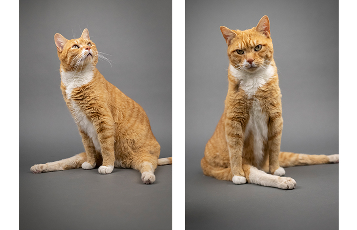 Two photos of orange tabby and white cat Solarflare, sitting with legs splayed
