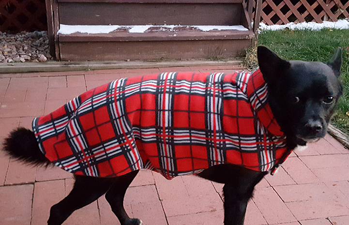 Julius the little black dog with a neuro issue wears a little fleece jacket when it's cold out