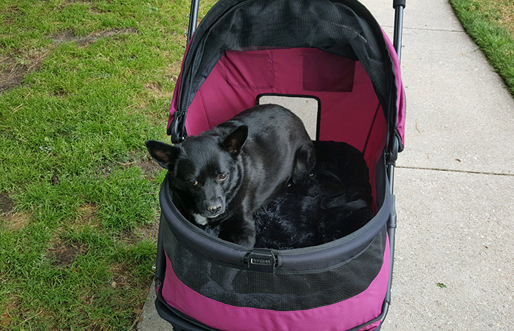 Julius the small black dog with a neurological condition is wheeled through the neighborhood parks in his own cushy stroller