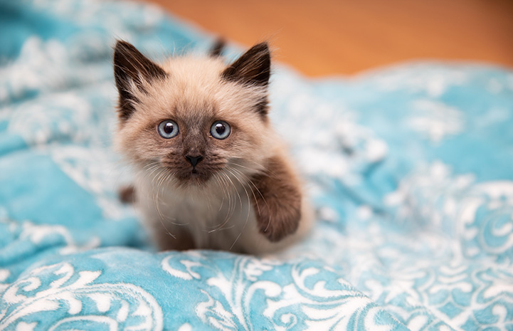 Waffle Love the kitten walking straight toward the camera on a blue and white blanket