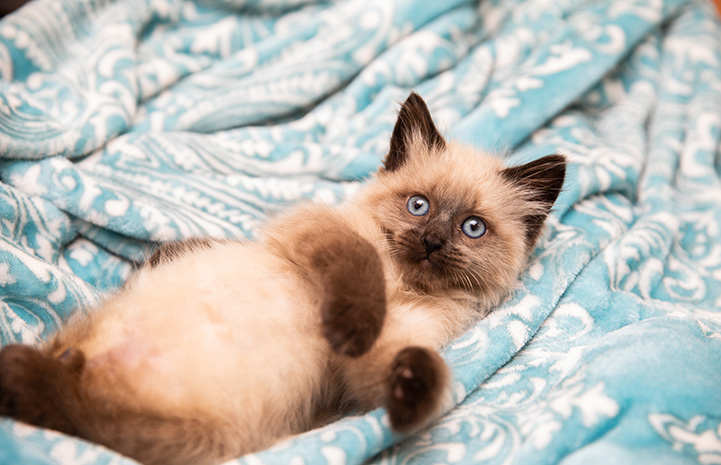 Waffle Love the kitten lying on his back on a blue and white blanket