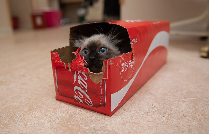 Waffle Love the kitten hiding in a box for a 12-pack of Coka-Cola