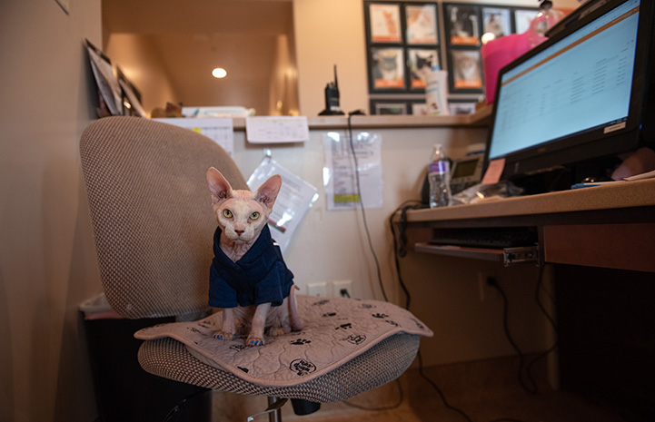 Tivoli the Sphinx cat sitting on a chair at a desk holding a computer