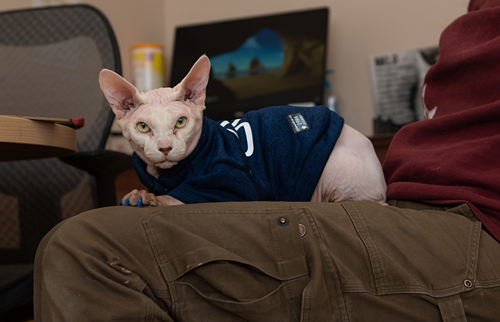 Tivoli the Sphinx cat wearing a shirt and lying on a lap