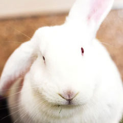 White rabbit available to sponsor