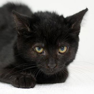 Adopt Stevie Nicks the cat available for adoption from Lexington