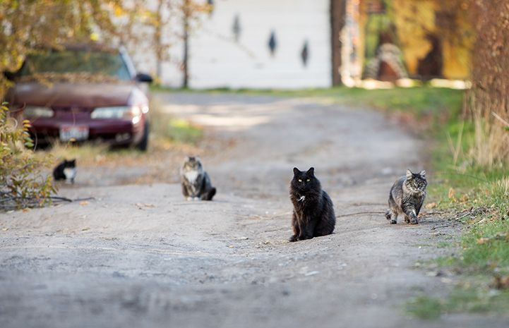 Four community cats sitting on a driveway with a car behind them