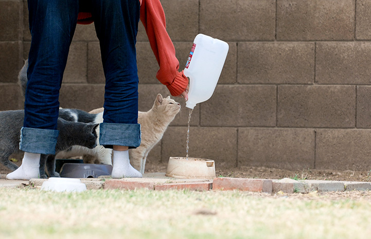 Person bending over pouring water into a bowl while community cats wait to drink