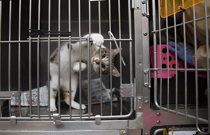 Tabby and white kitten hanging from the bars in a kennel