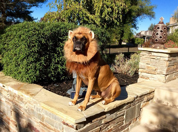 Boxer wearing a lion outfit and sitting on a wall
