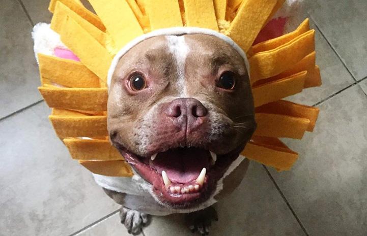 Brown dog wearing lion hat