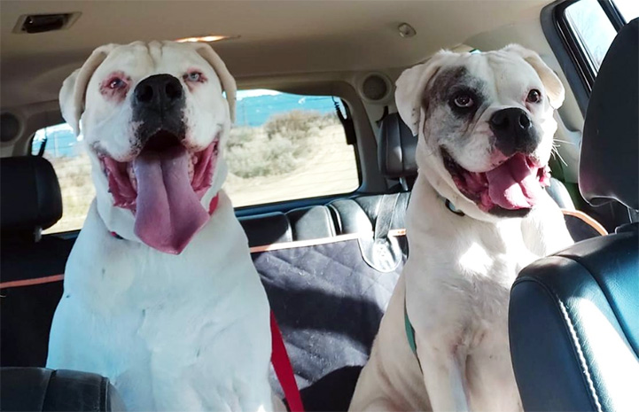 Goober and Gomer the boxers sitting in the back seat of a car