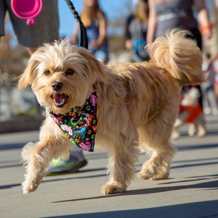 shaggy small dog at Strut Your Mutt dog walk