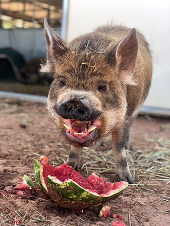 Corwin the pig eating watermelon