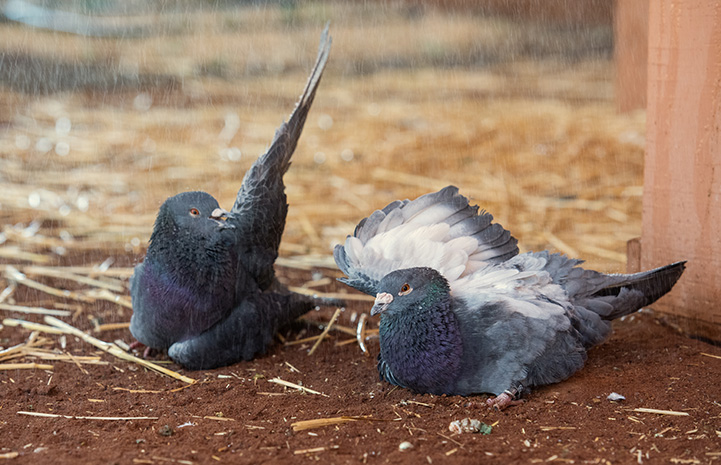 Two pigeons enjoying the fine spray of a shower