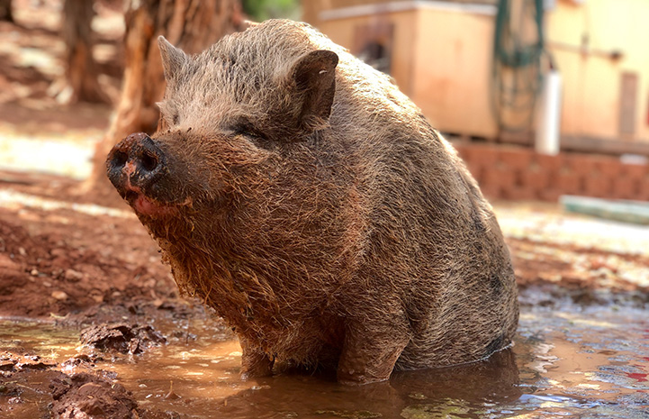 Poppy the pig sitting in a mud puddle