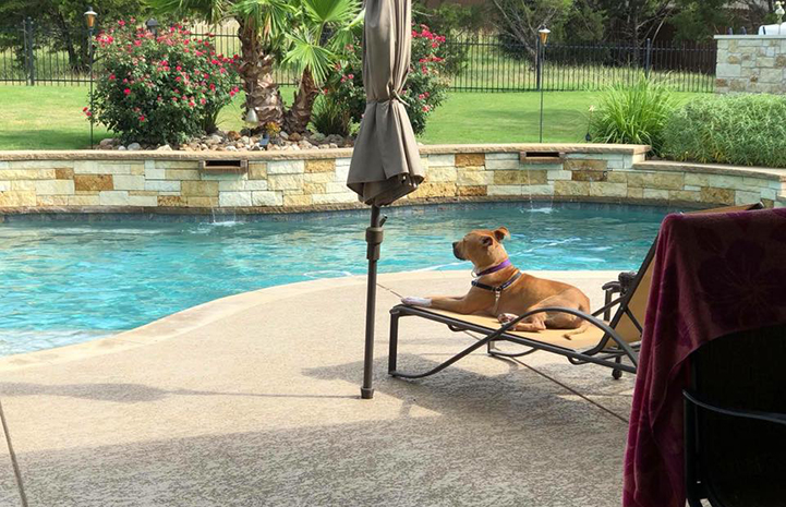 After being adopted from the Williamson County Regional Shelter, Ranger the dog makes himself at home by his new family's pool