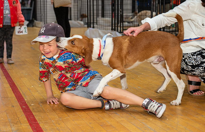 Laughing young boy wearing a colorful shirt and hat, on the ground while a brown and white hound dog kisses him on the face at the New York Super Adoption event