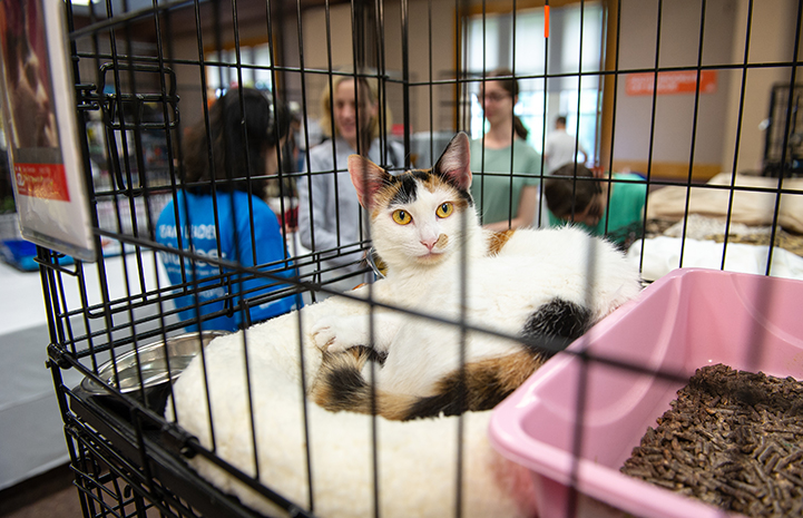 Calico cat with yellow eyes looking at the camera from in a kennel at the New York Super Adoption