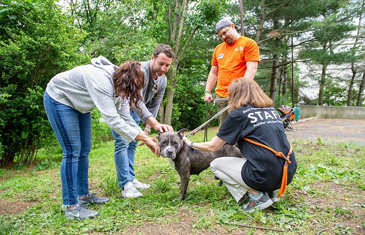 Group of people, including a staff member and volunteer, leaning over to pet a gray and white pit bull terrier