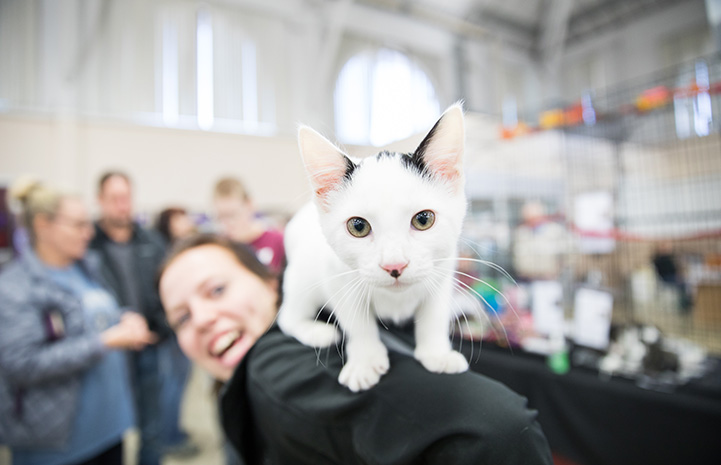 White and black kitten on the back of a smiling woman at the NKUT Super Adoption