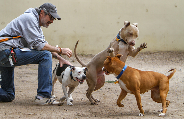 Volunteer Layne Dicker supervising a playgroup with three dogs
