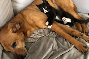 Black and white kitten Candycane lying on a big brown dog on a couch