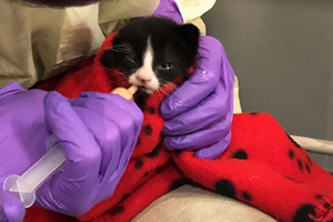Candycane the kitten being fed formula by a syringe