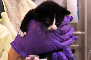 Candycane the tiny black and white kitten being held by gloved hands