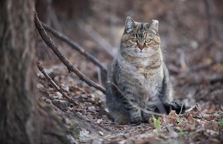 Plump tabby community cat with a tipped ear in the woods