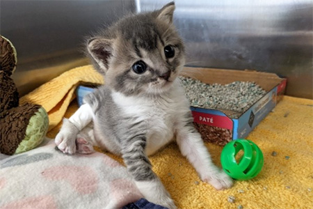 Kramer the kitten in his kennel on blankets, by a toy, and in front of his litter pan