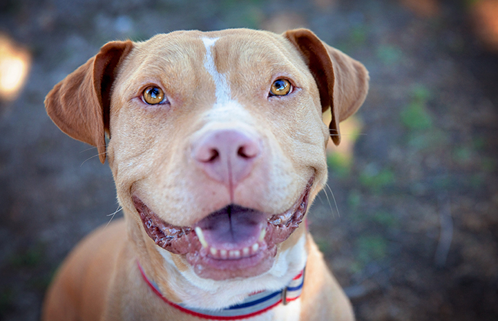 Smiling tan and white pit-bull-terrier-type dog