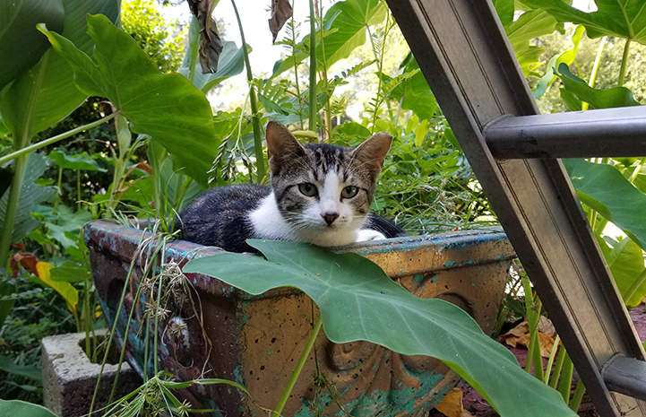 Ear-tipped community cat who was helped through trap-neuter-return (TNR)