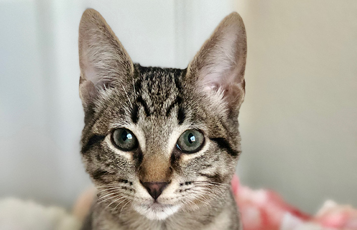 The face of Lincoln, a brown tabby kitten