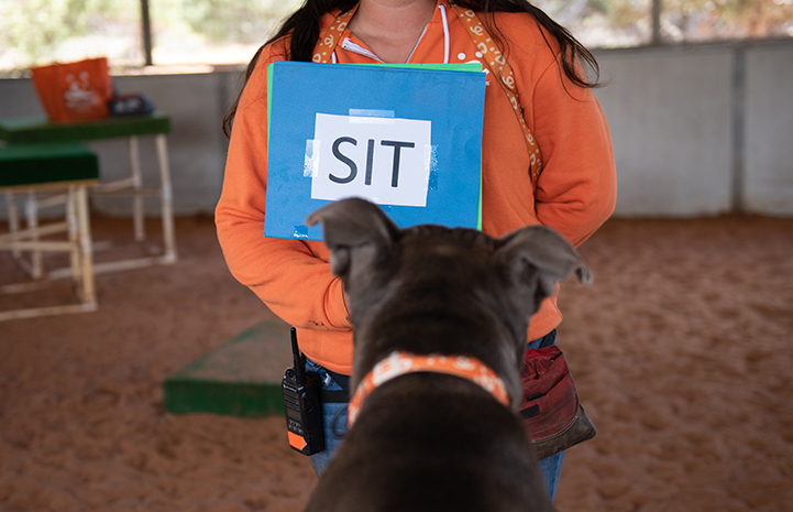 "The back of Moose the dog's head as he looks at a sign that says ""SIT"" held by a person"