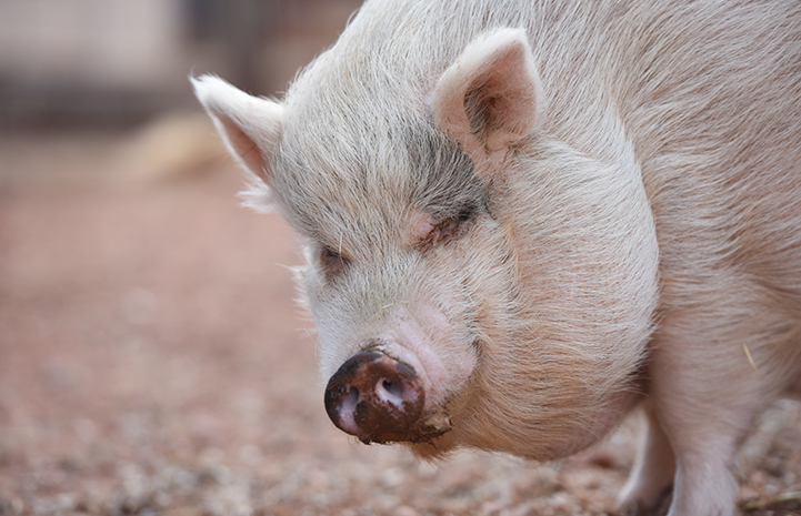 Rosie, pictured here, was purchased as a baby pink teacup pig by a well-meaning couple who paid several thousand dollars for her