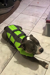 Benny the dog wearing a green vest