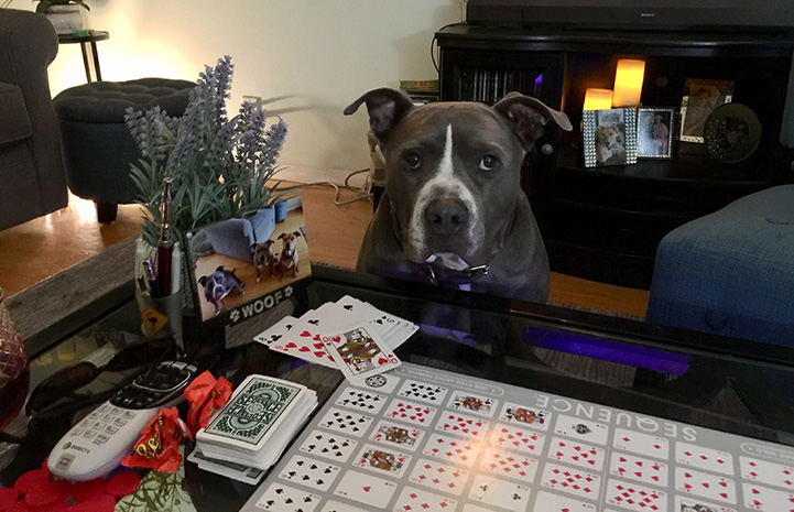 Gary the gray and white pit bull terrier type dog sitting behind a card game