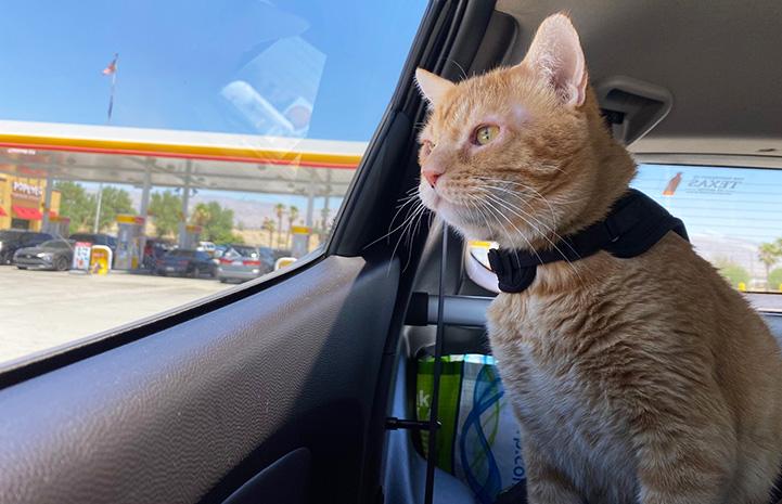 Steak the orange tabby cat looking out a car window