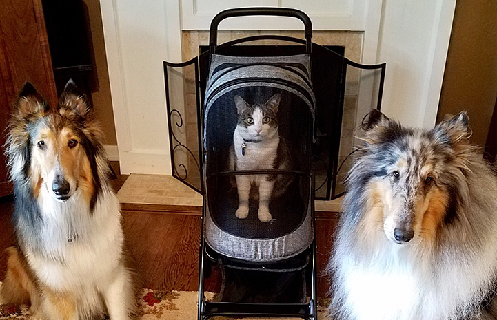 Hazel the cat in a stroller with therapy collie dogs on either side of her