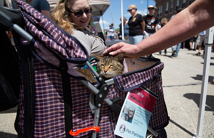 Hercules the therapy cat being petted on the head while sitting in a stroller with an ID card